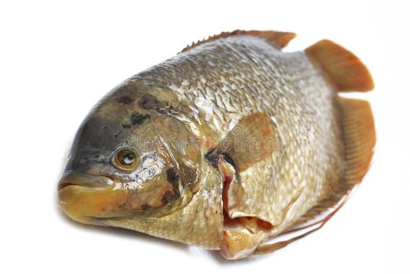 Peixes crus frescos ou gurami gigante Osphronemus goramy imagem de stock