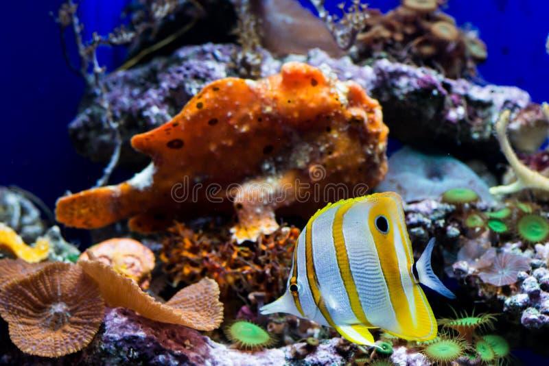 Peixes da borboleta de Copperband e um peixe da rã foto de stock