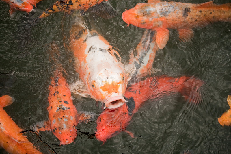 Peixes da carpa de Koi foto de stock royalty free