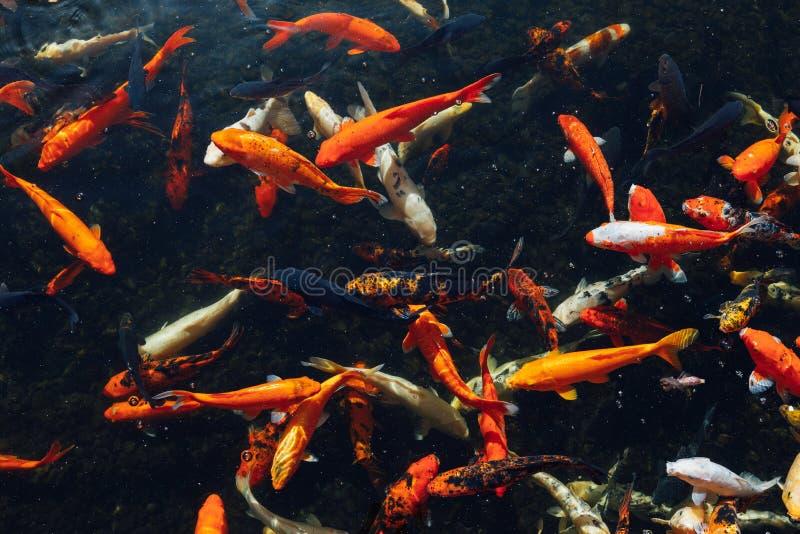 Peixes da carpa de Koi no dia ensolarado fotografia de stock