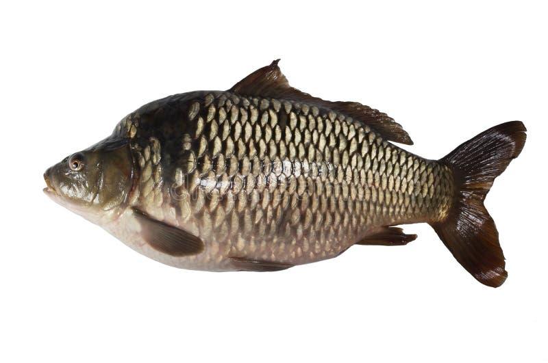 Peixes da carpa isolados fotografia de stock