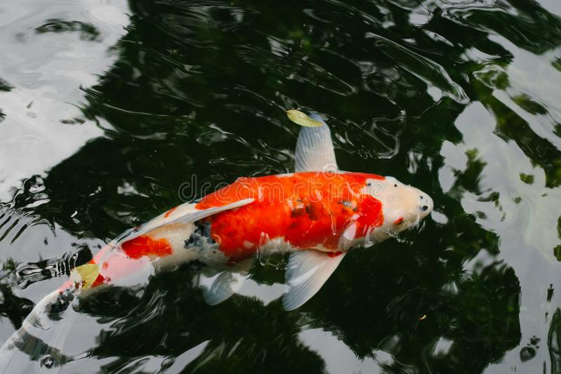 Peixes da carpa da laranja selvagem peixes alaranjados pretos da carpa no grande lago imagens de stock