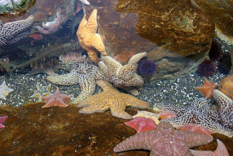 Peixes da estrela imagem de stock royalty free