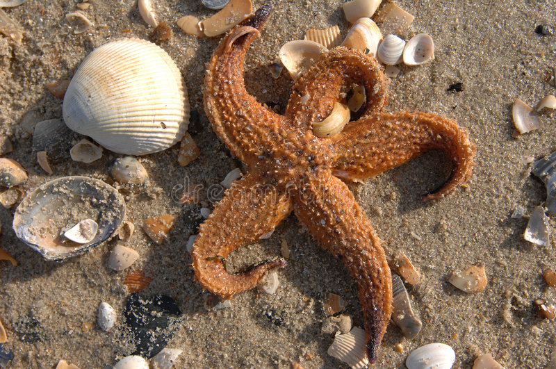 Peixes da estrela & shells07 fotos de stock royalty free