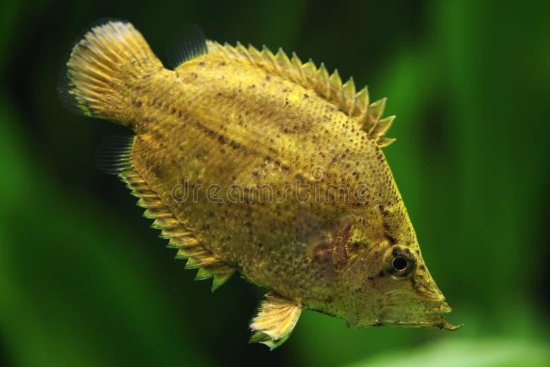 Peixes da folha das Amazonas (polyacanthus de Monocirrhus) imagem de stock royalty free