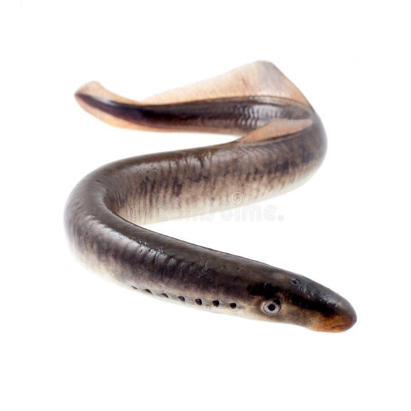 Peixes da lampreia foto de stock