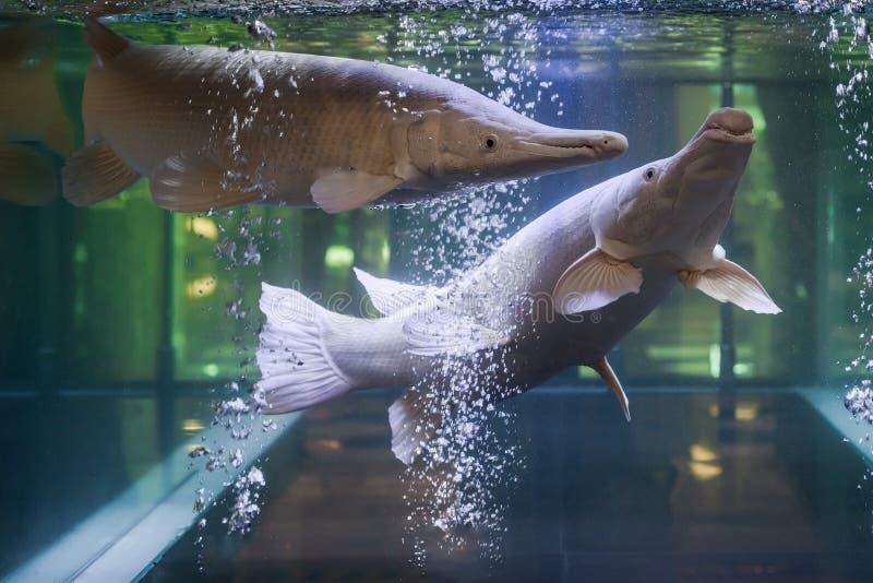 Peixes da platina do jacaré no aquário fotos de stock