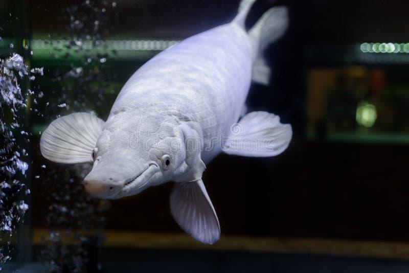 Peixes da platina do jacaré no aquário foto de stock