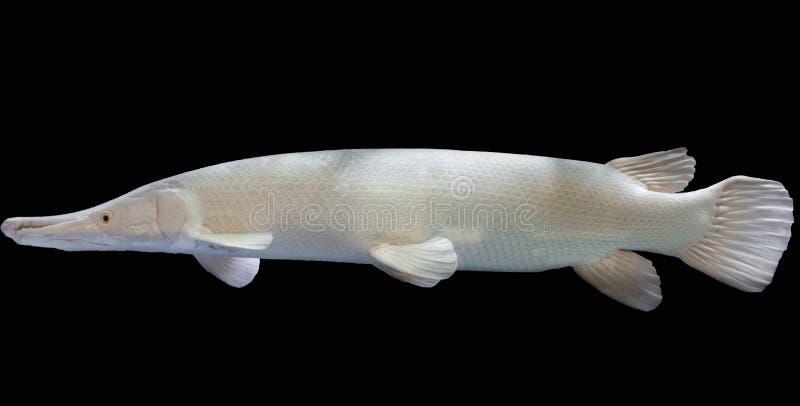 Peixes da platina do jacaré no aquário imagem de stock