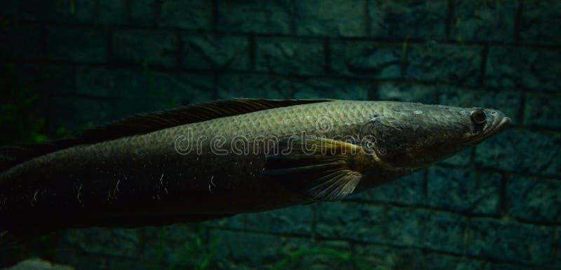 peixes da Serpente-cabeça imagem de stock royalty free