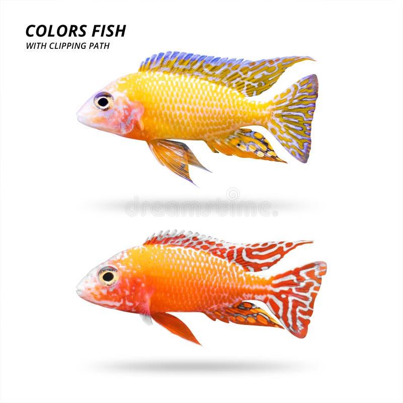 Peixes das cores isolados no fundo branco Cichlidaes bonitas Trajeto de grampeamento ilustração do vetor