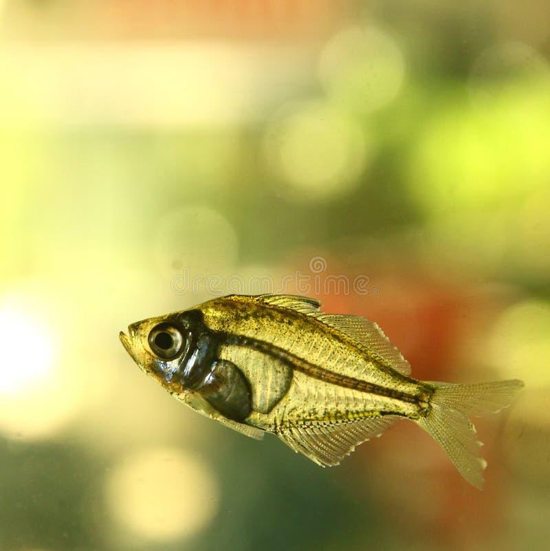 Peixes de água doce imagem de stock