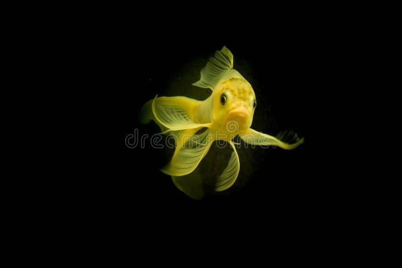 Peixes de água doce do aquário, peixe dourado de Ásia no aquário, auratus do carassius foto de stock royalty free