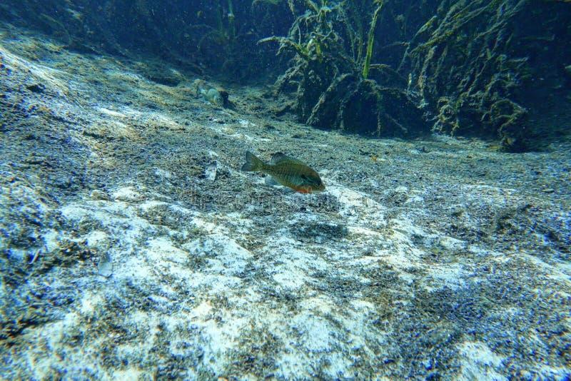 Peixes de água doce do Bluegill em uma mola de Florida imagens de stock