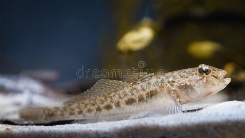 Peixes de água doce juvenis dos semilunaris de Proterorhinus do góbio de Tubenose, travados no rio do sul do erro, no aquário do  fotos de stock