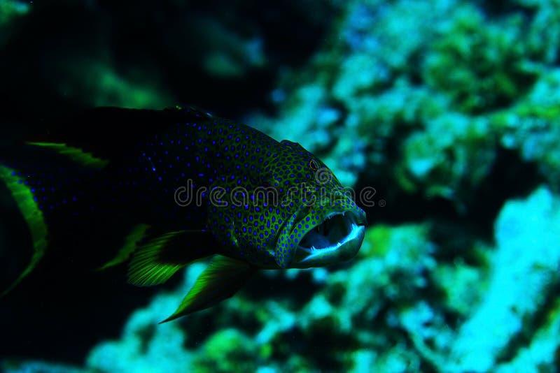 Peixes de água salgada em um recife de corais imagens de stock