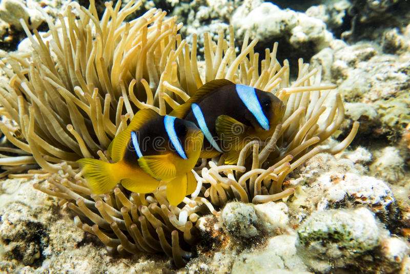 Peixes de anêmona (bicinctus do Amphiprion)) no fundo com anêmona Coral Reef fotos de stock