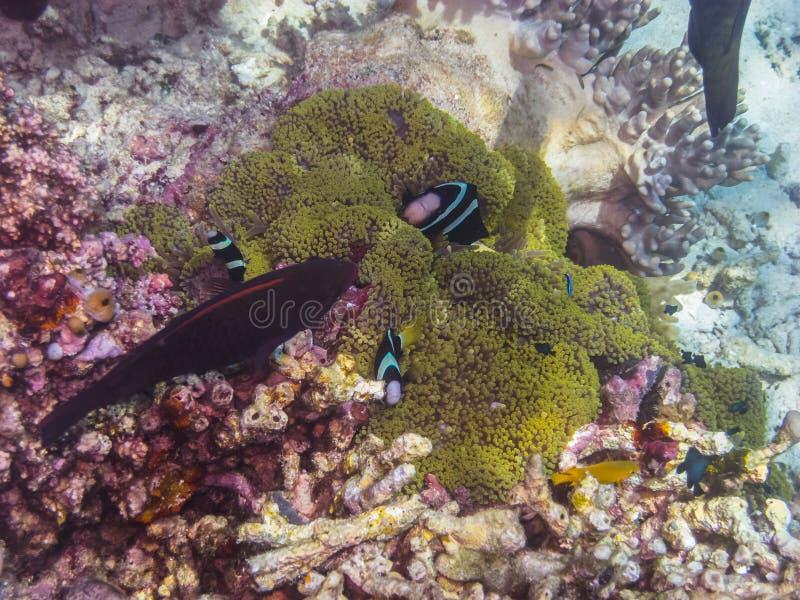Peixes de anêmona na anêmona fotografia de stock