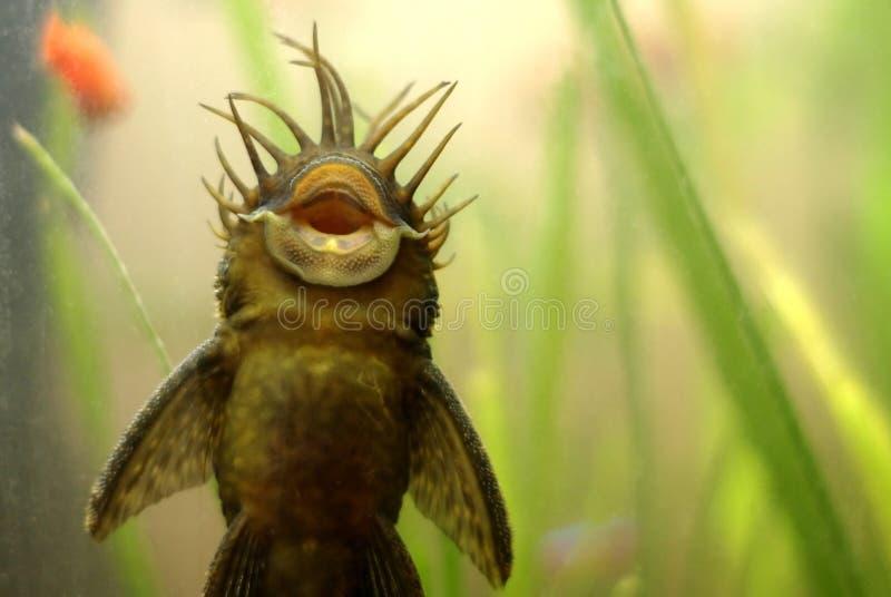 Peixes de Ancistrus imagem de stock royalty free