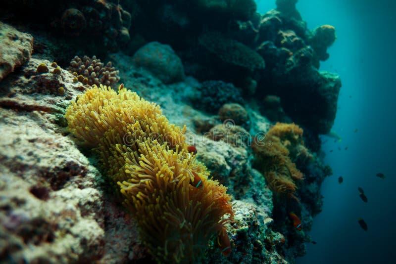 Peixes de Anemone no repouso no abismo fotos de stock