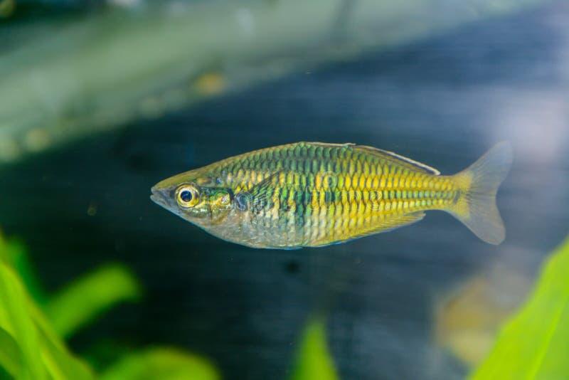 Peixes de arco-íris de Boesemani Peixes de arco-íris fêmeas do gênero Melanotaenia no aquário Um do aquário o mais bonito fi da á fotos de stock royalty free