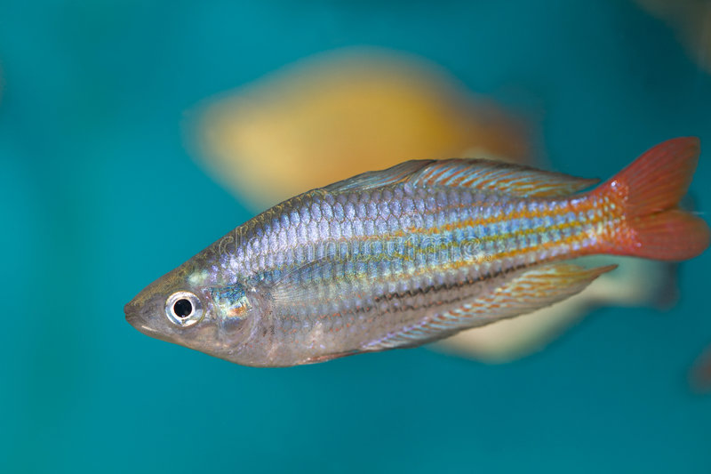 Peixes de arco-íris de Boesman foto de stock