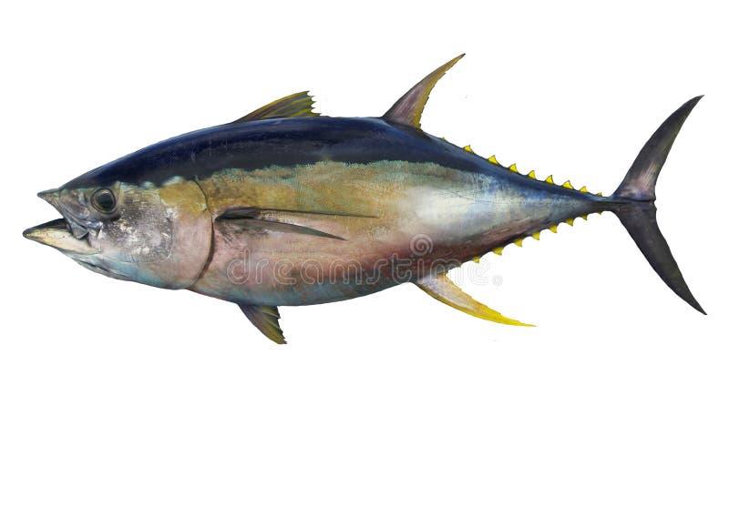 Peixes de atum do atum amarelo isolados no fundo branco imagens de stock royalty free