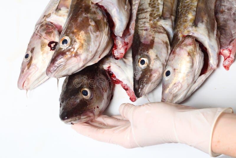 Download Peixes de bacalhau foto de stock. Imagem de bacalhau - 26520462