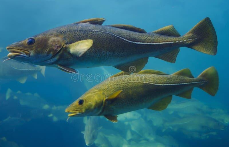 Peixes de bacalhau fotografia de stock royalty free