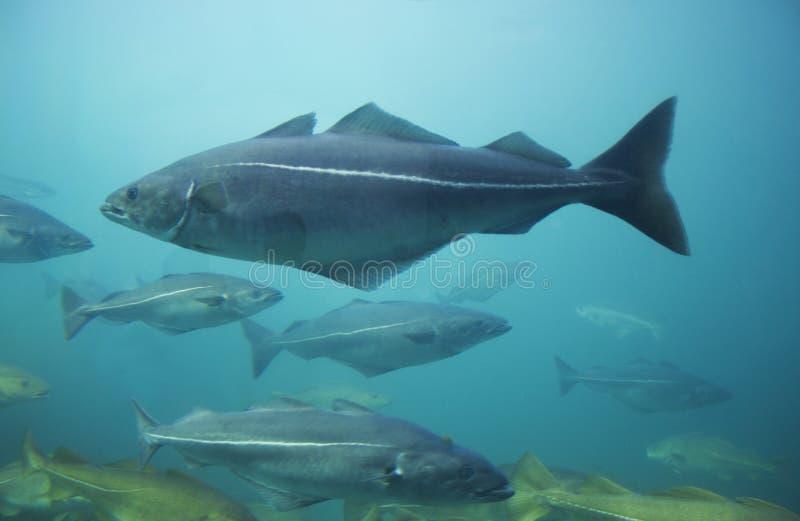 Peixes de bacalhau no aquário fotografia de stock royalty free