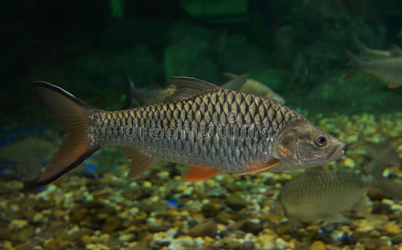 Peixes de Barb imagens de stock