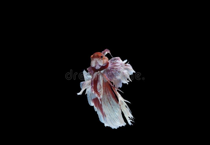 Peixes de Betta no fundo preto, trajeto de grampeamento imagens de stock