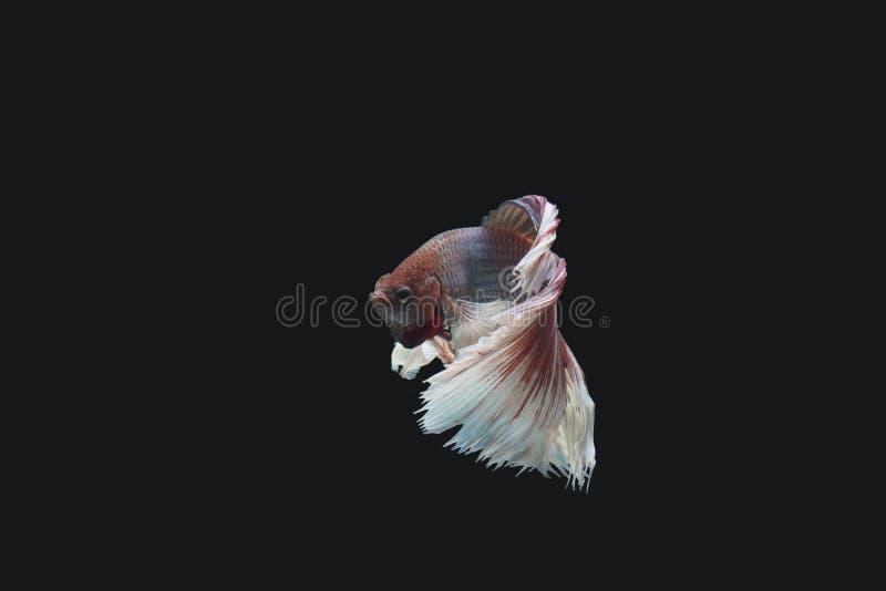 Peixes de Betta no fundo preto, trajeto de grampeamento imagens de stock royalty free