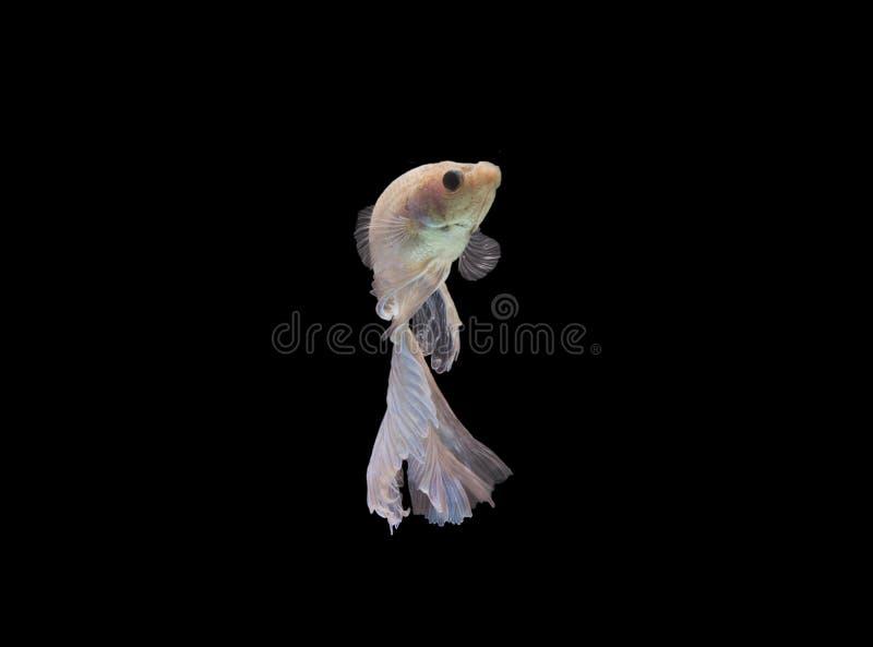 Peixes de Betta no fundo preto, trajeto de grampeamento imagem de stock