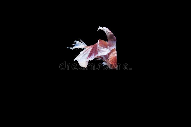 Peixes de Betta no fundo preto, trajeto de grampeamento fotografia de stock