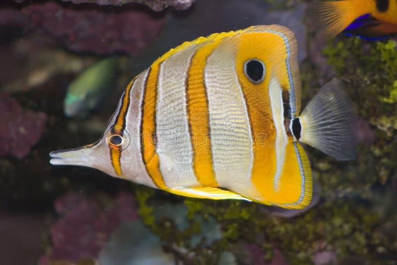 Peixes de borboleta de Copperband imagem de stock