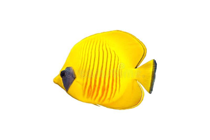 Peixes de borboleta isolados
