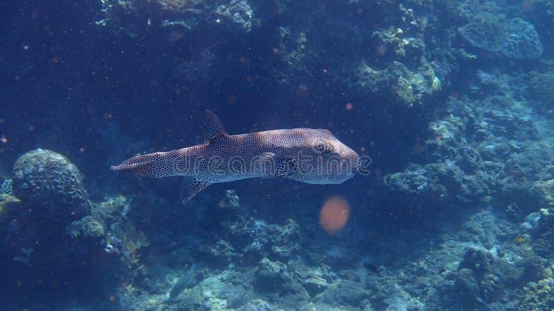 Peixes de Cheeta imagem de stock