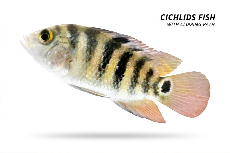 Peixes de cichlidaes isolados no fundo branco Cor amarela e listra Trajeto de grampeamento ilustração stock