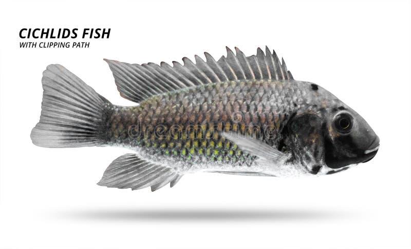 Peixes de cichlidaes isolados no fundo branco Cor preta e listra Trajeto de grampeamento ilustração stock
