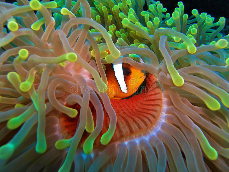 Peixes de Cloun no anemon vermelho e verde imagens de stock royalty free