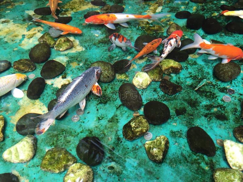 Peixes de Coi, desejo como você foto de stock royalty free