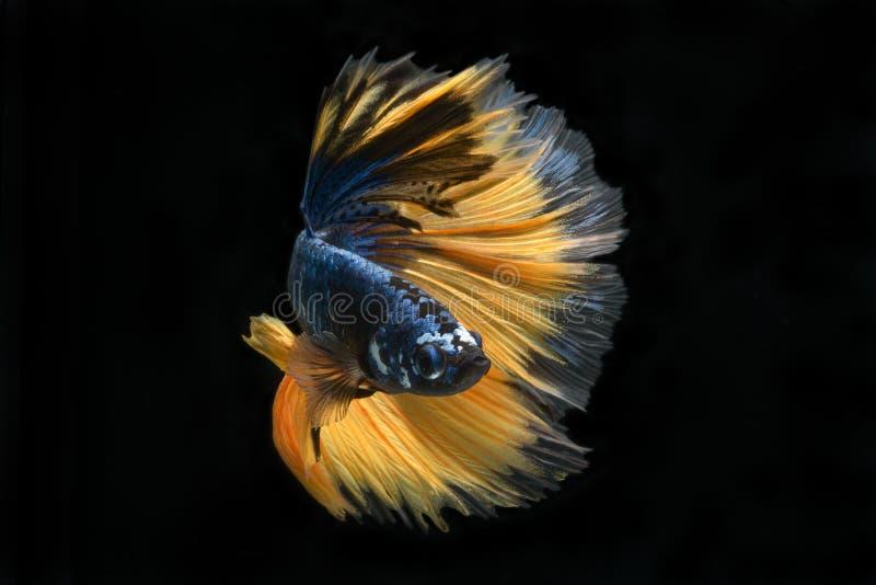 Peixes de combate de Betta imagens de stock