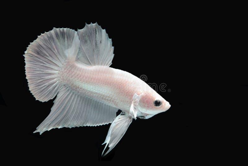 Peixes de combate da platina branca imagens de stock royalty free