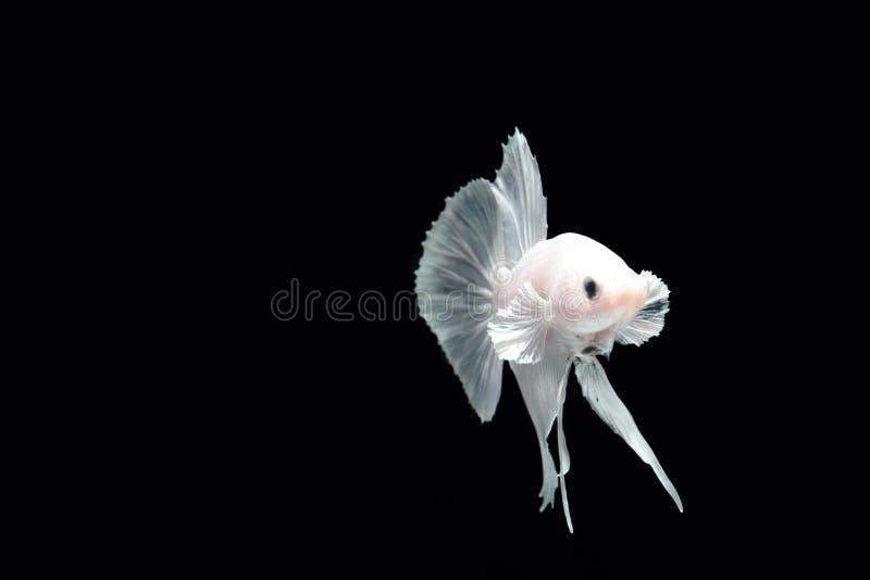 Peixes de combate da platina branca fotografia de stock royalty free