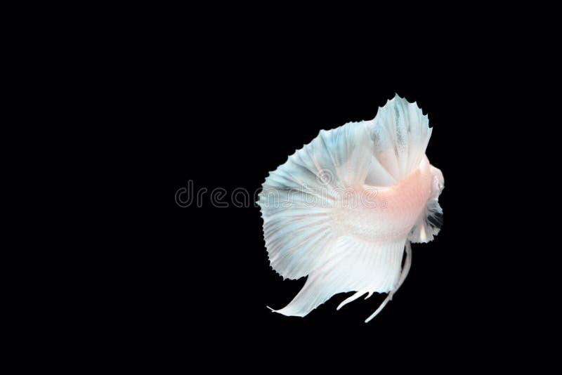 Peixes de combate da platina branca fotos de stock