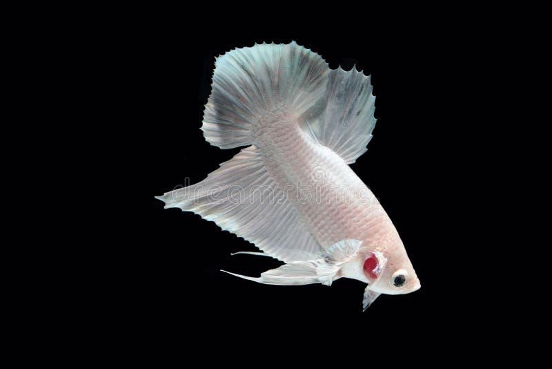 Peixes de combate da platina branca imagens de stock