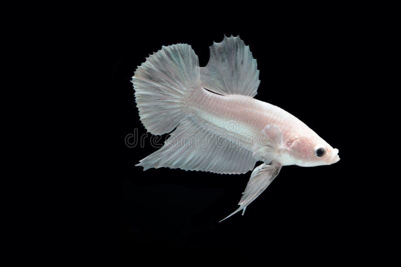 Peixes de combate da platina branca imagem de stock royalty free