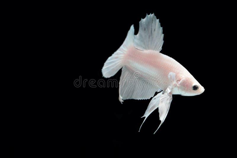 Peixes de combate da platina branca fotos de stock royalty free