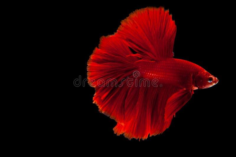Peixes de combate de Betta foto de stock royalty free